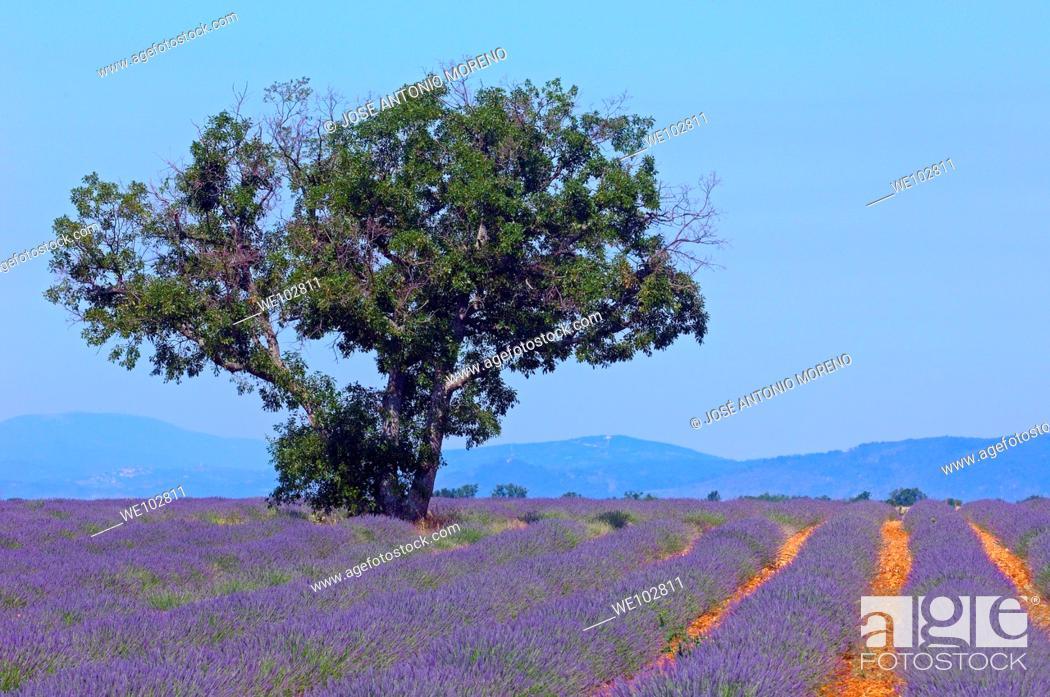 Stock Photo: Lavender field in full blossom at Plateau de Valensole, Alpes-de-Haute-Provence, Provence-Alpes-Côte d'Azur, France.