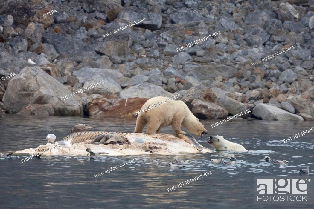 Stock Photo: Polar Bear Ursus maritimus two adults, fighting, scavenging on dead Fin Whale Balaenoptera physalus carcase floating in sea, Spitsbergen, Svalbard, september.