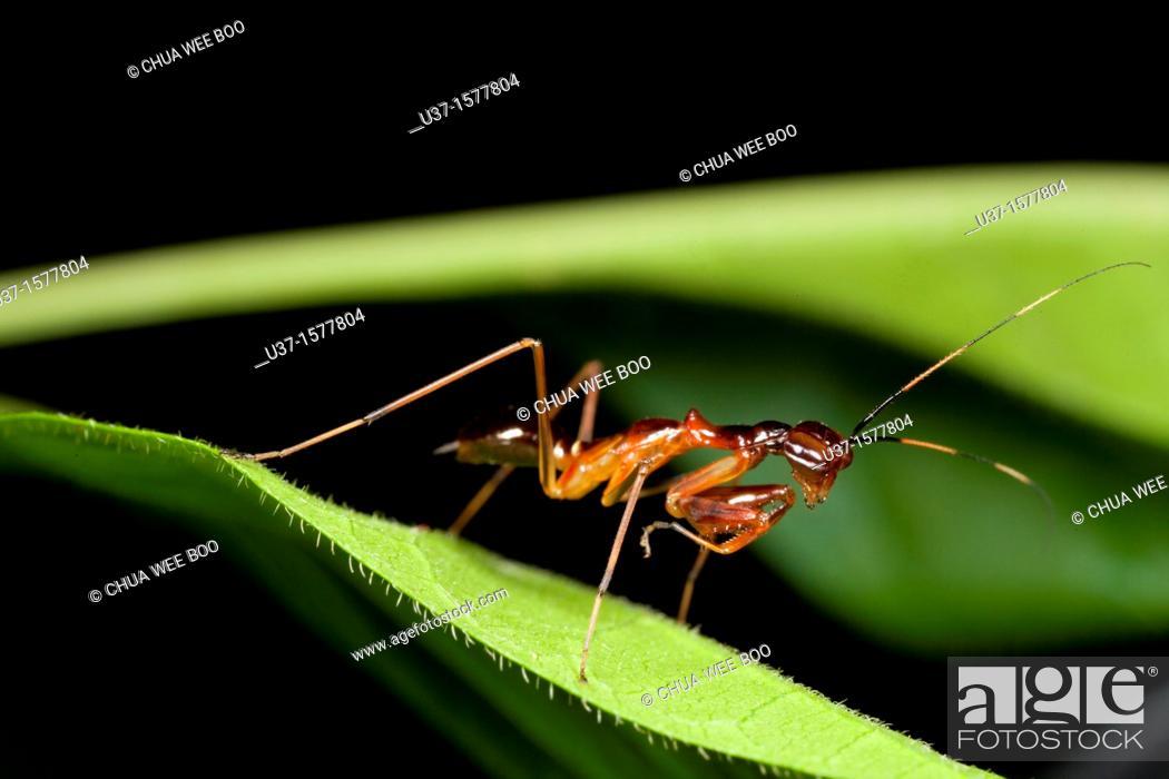 Stock Photo: Ant mimic mantis found at Kampung Skudup, Sarawak, Borneo.