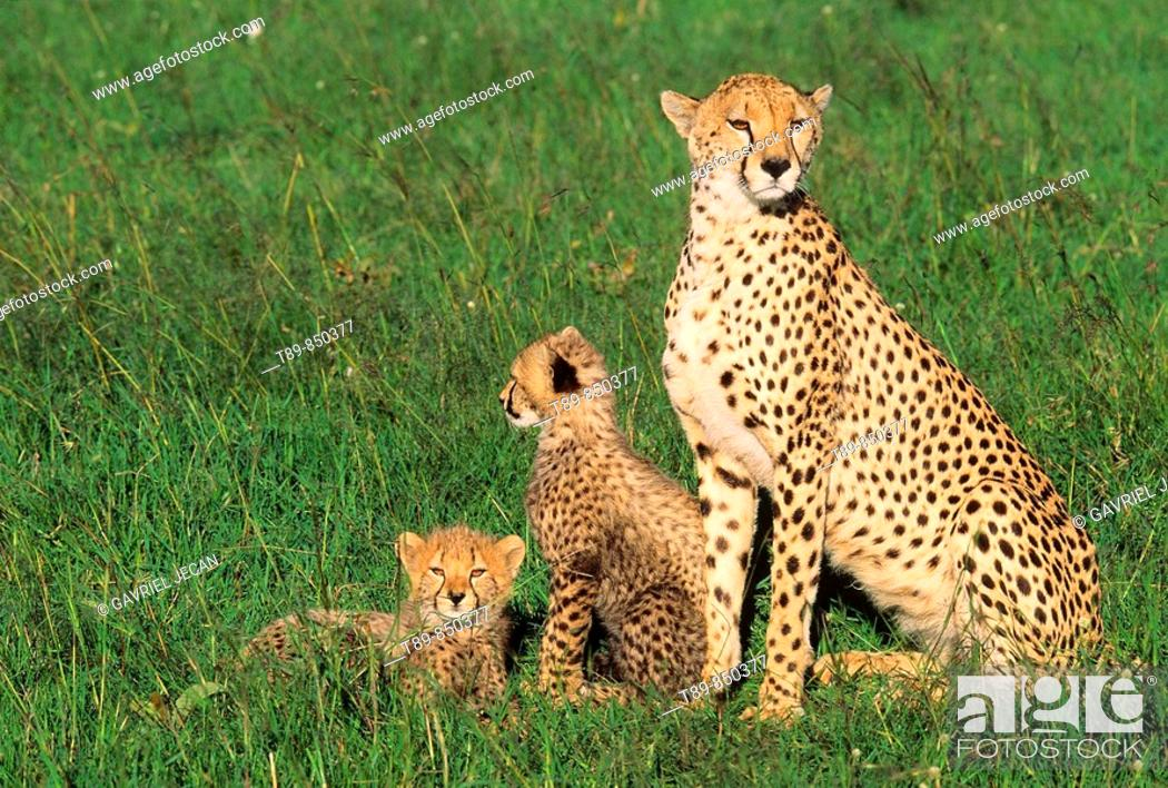 Stock Photo: Adult Female Cheetah Acinonyx jubatas stands with cub looking out on savanna.