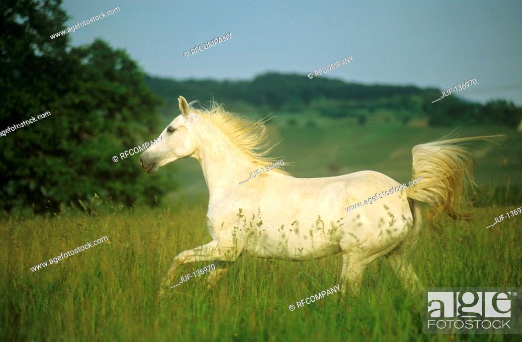 Stock Photo: Shagya Arabian horse on meadow.