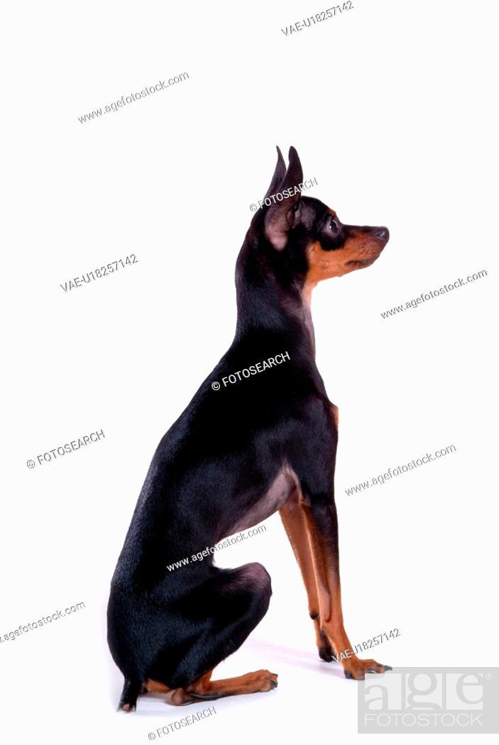 Stock Photo: house pet, domestic, cute, loving, canines, companion, miniature pinscher.