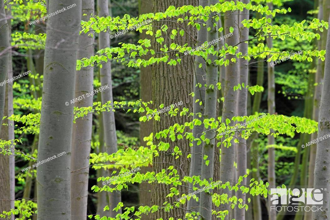 Stock Photo: New leaves on European beech / common beech (Fagus sylvatica) trees in deciduous forest in spring.