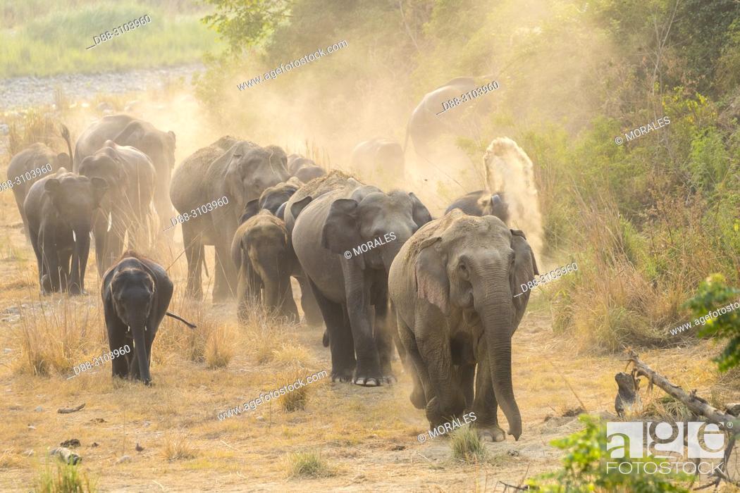 Stock Photo: Asia, India, Uttarakhand, Jim Corbett National Park, Asian or Asiatic elephant (Elephas maximus). Dust bath.