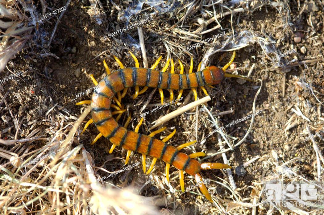 Stock Photo: Centipede. Valle de Alcudia. Spain.
