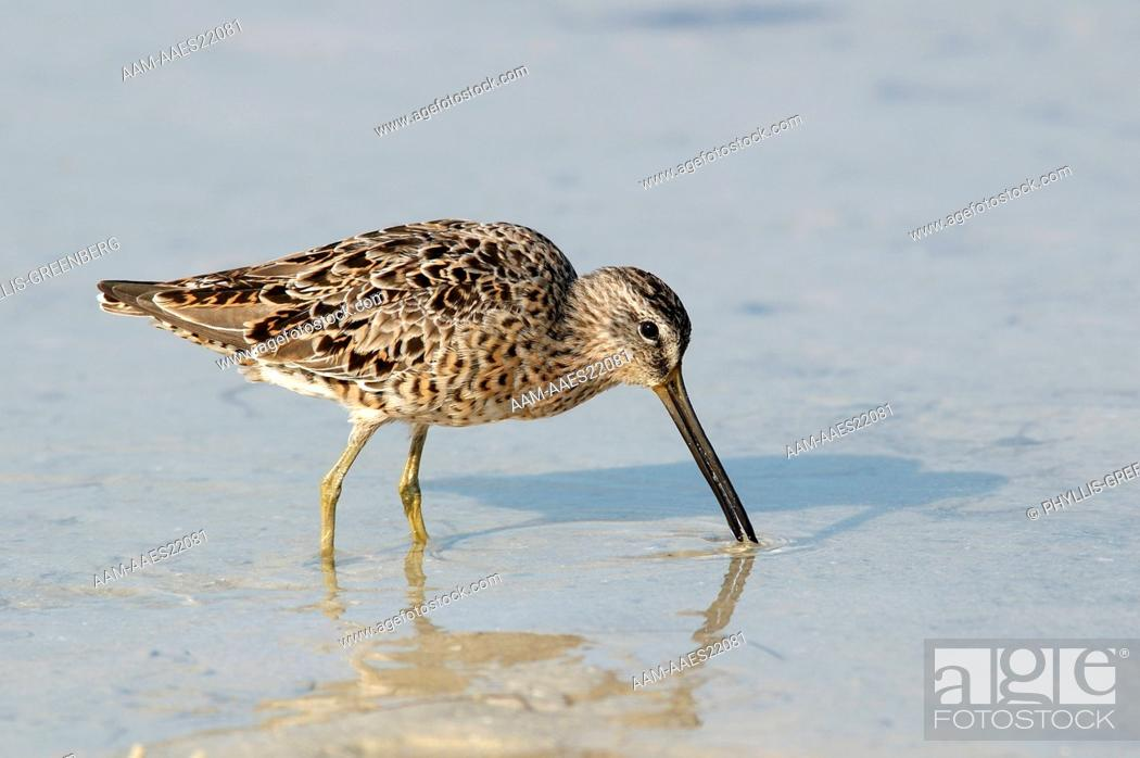 Stock Photo: Short-billed-Dowitcher--(Limnodromus)-feeding-Marco-island,Fl.