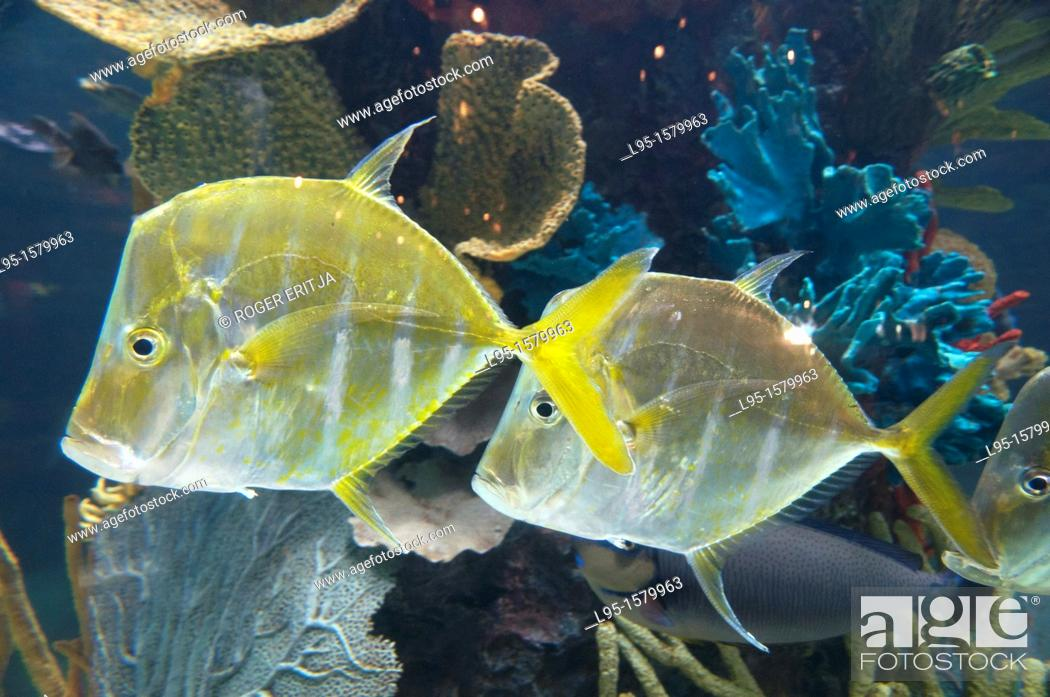 Stock Photo: Tropical fish species maintained in sea aquarium, Anaheim, US.