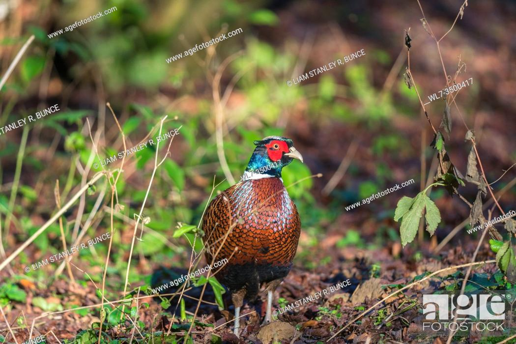 Stock Photo: Male Pheasant (Phasianus colchicus) Woolhope Herefordshire UK. January 2020.