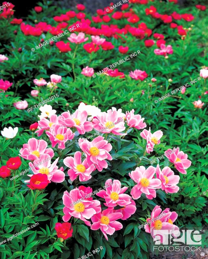 Stock Photo: flower, peony.