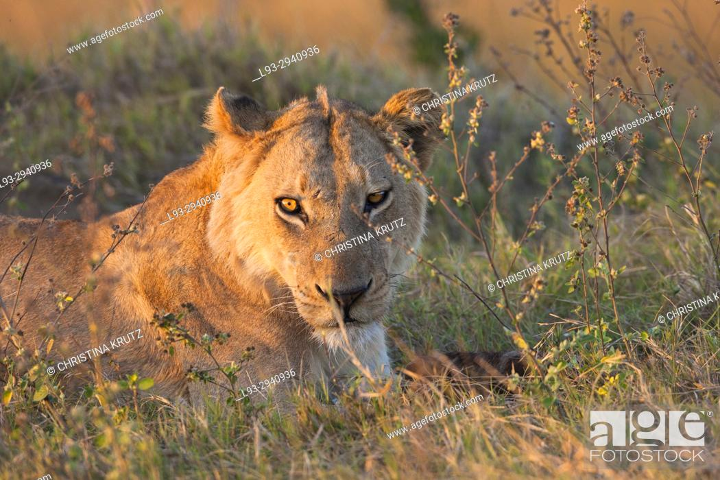 Stock Photo: African lion (Panthera leo). Okavango Delta, Botswana, Africa.
