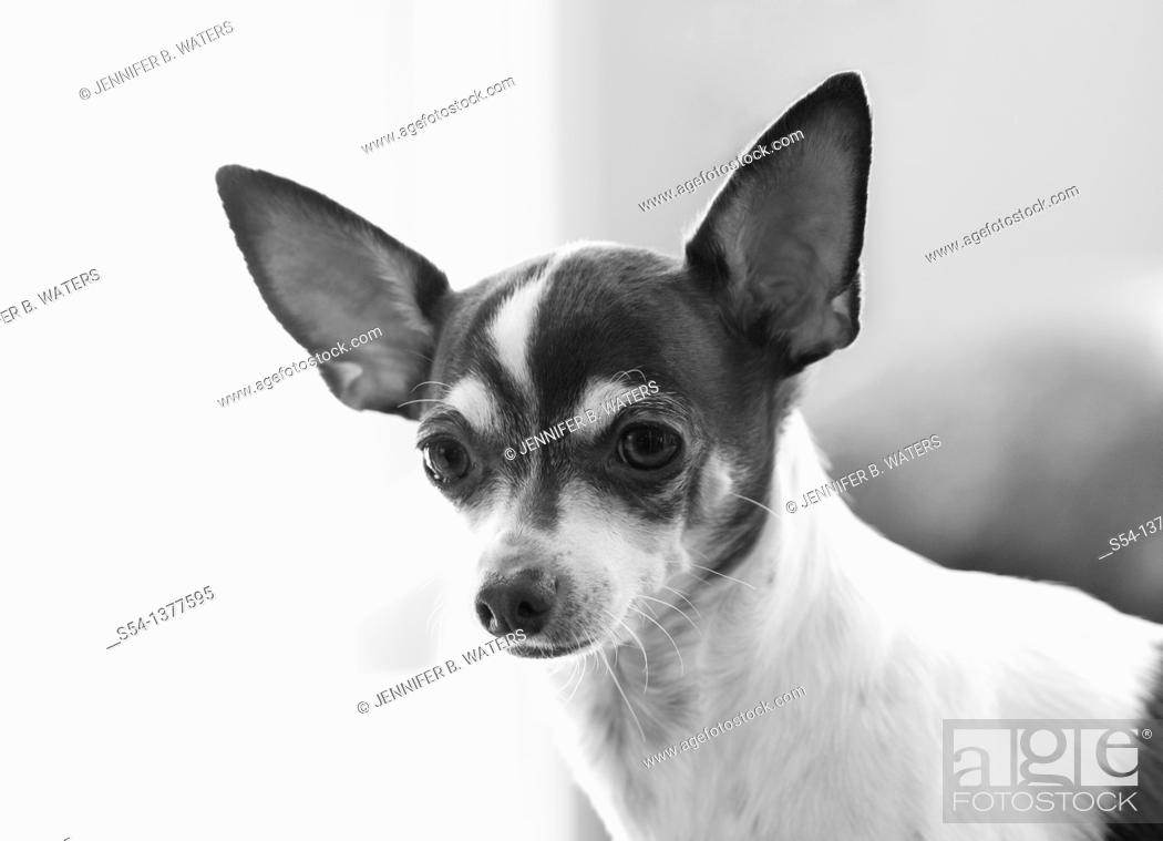 Stock Photo: A chihuahua, head and shoulders.