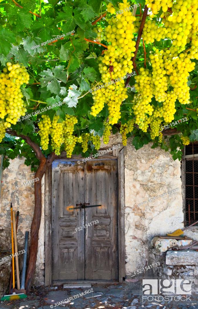 Stock Photo: Grapevine, Emponas, Rhodes, Dodecanese islands, Greece, Europe.