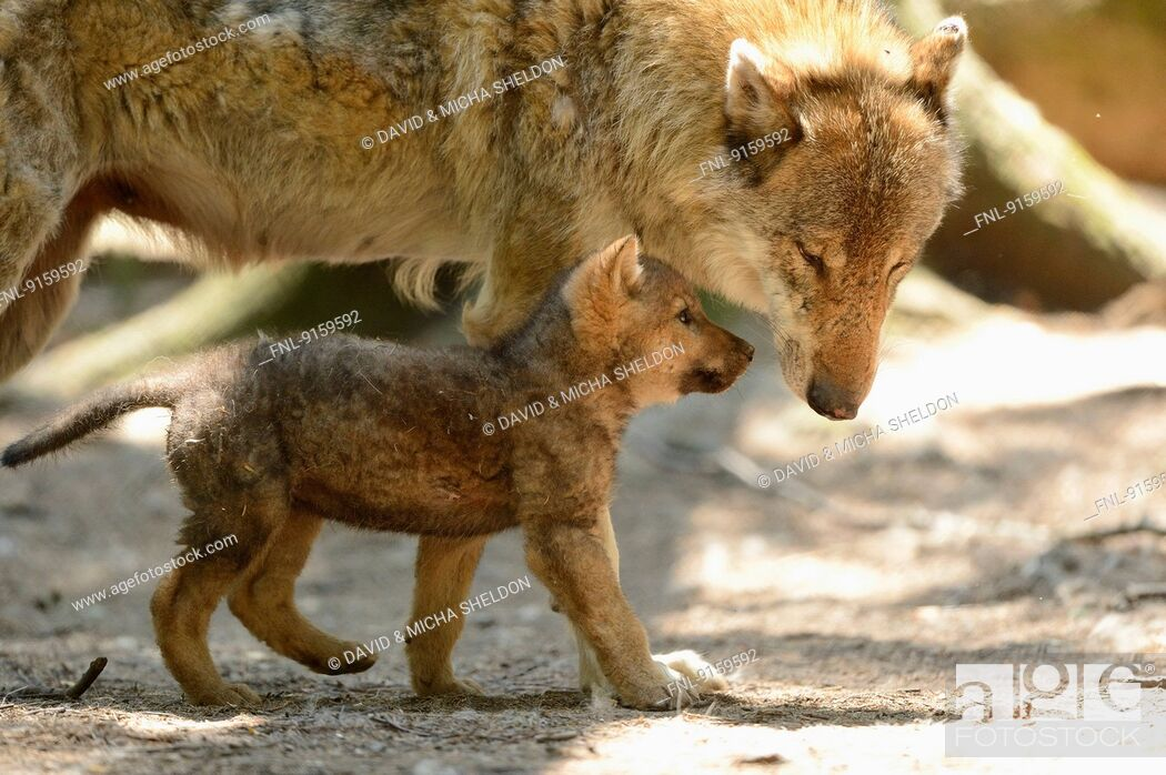 Stock Photo: Gray wolf puppy with its mother.