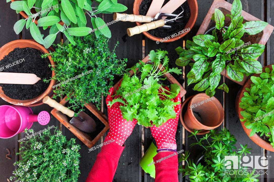 Stock Photo: Woman's hands planting herbs on terrace.