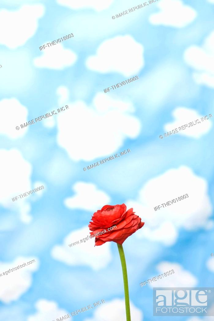 Stock Photo: wallpaper and rose.