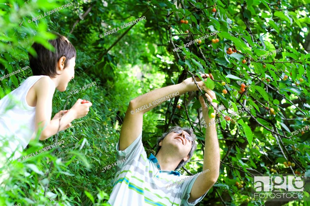 Stock Photo: Father and son pulling cherries off tree.