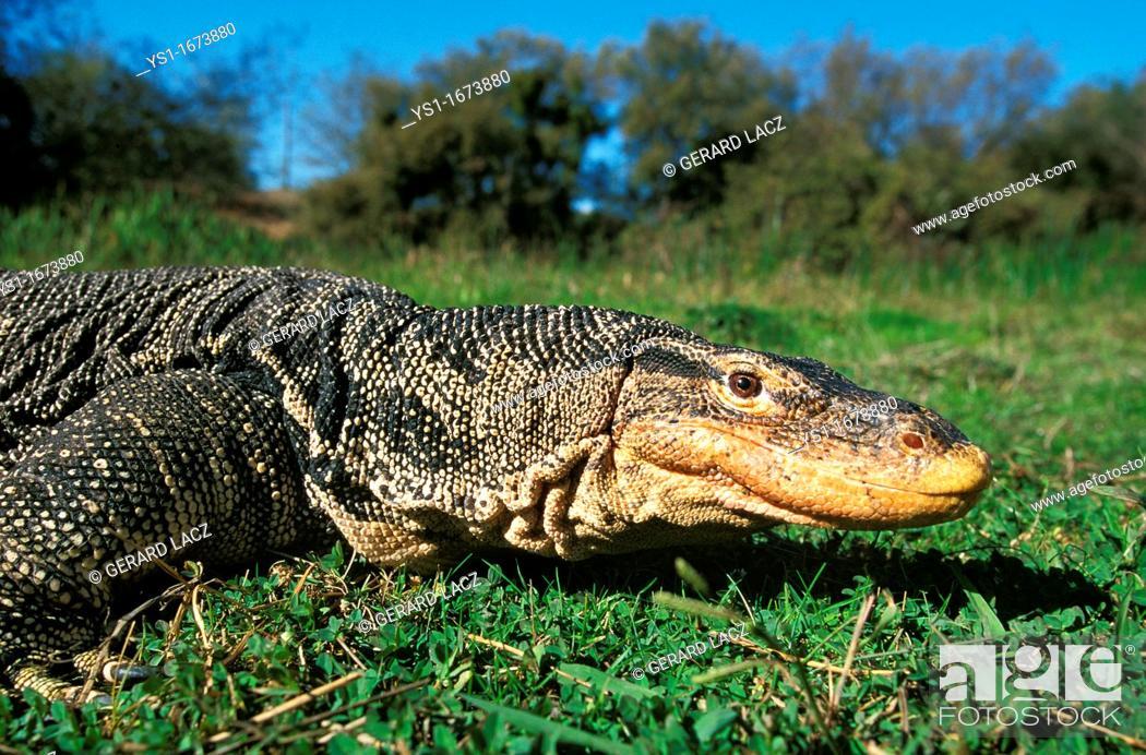Stock Photo - Water Monitor Lizard, varanus salvator, Adult standing on  Grass