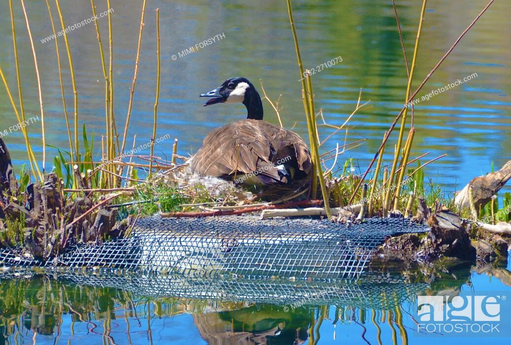 Stock Photo: Canada Goose (Branta canadensis) nesting, New Mexico, USA.