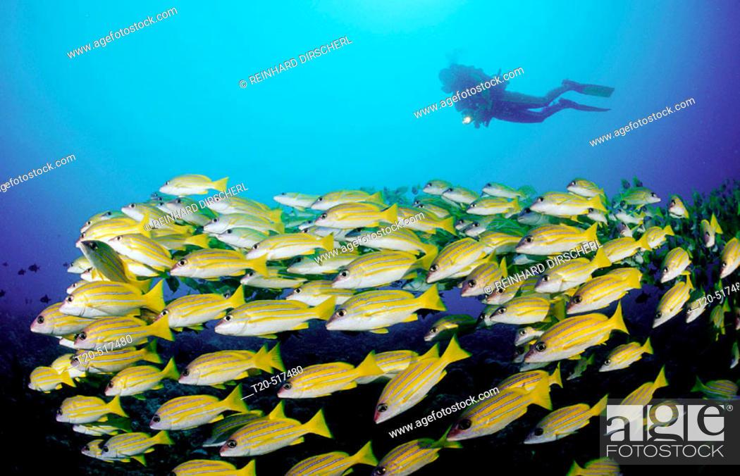 Stock Photo: Schooling fivelined snapper and scuba diver, Lutjanus quinquelineatus. Indian Ocean, Ari Atoll. Maldives Islands.