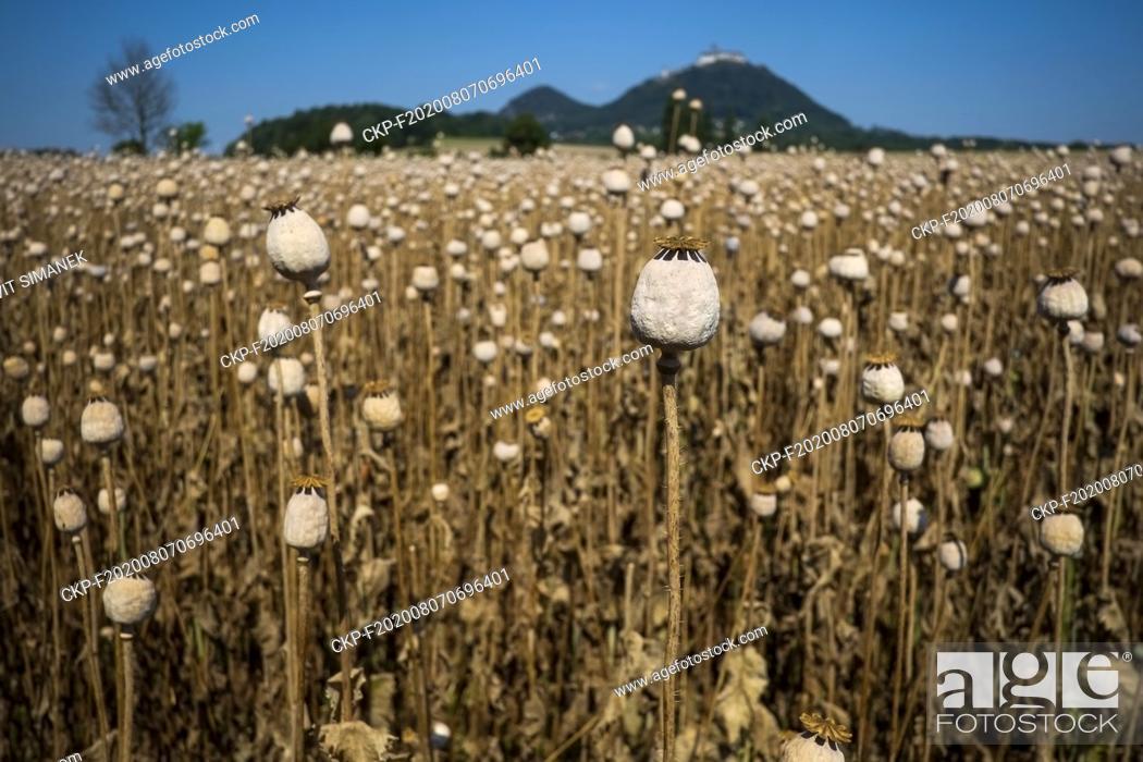 Imagen: Opium poppy (Papaver somniferum) field near Bezdez, Ceska Lipa, Czech Republic, August 6, 2020. (CTK Photo/Vit Simanek).