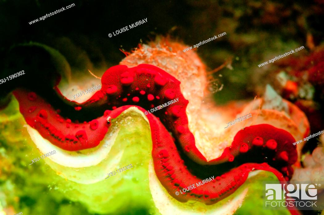 Stock Photo: A giant clam which appears a dull brown under natural light, fluoresces bright red in the ultraviolet   Tondoba Bay, Blueheaven holidays, Marsa Alam, Red Sea.