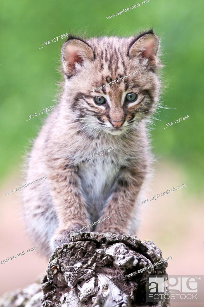 Stock Photo: Bobcat kitten, Lynx Felis rufus, 8 weeks old, ranges from southern Canada to northern Mexico.