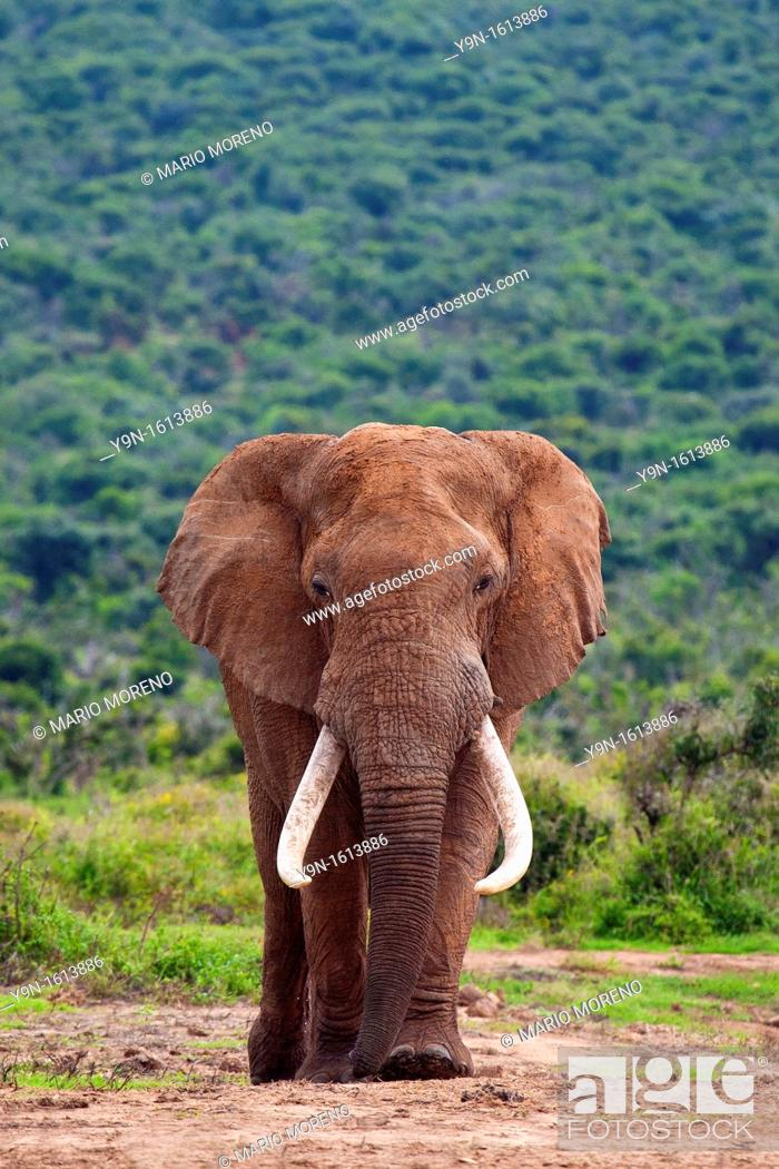 Stock Photo: A large Elephant Bull  Loxodonta Africana  captured in Hapoor Dam in Addo Elephant National Park in South Africa.