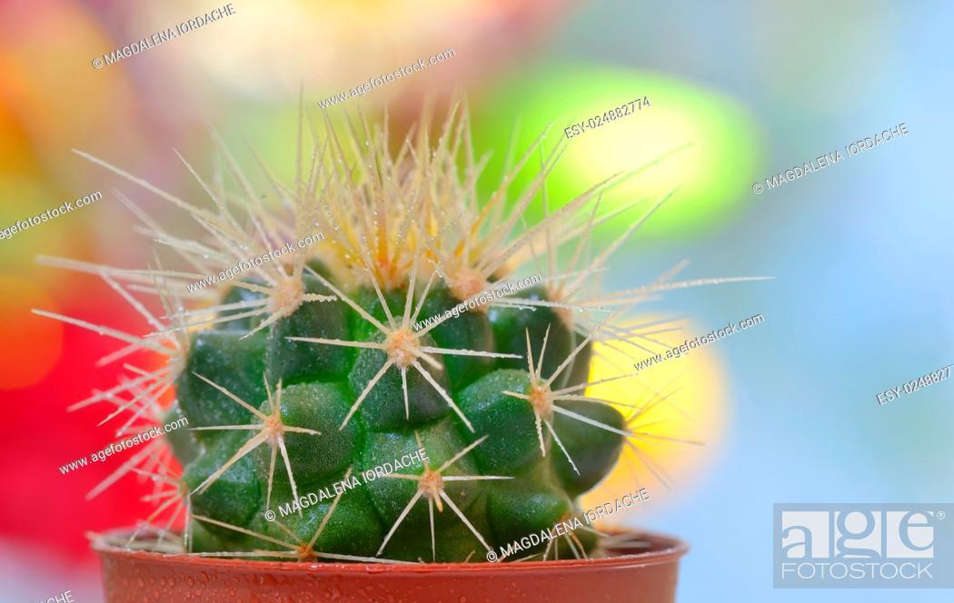 Stock Photo: Single small decorative cactus in a pot.