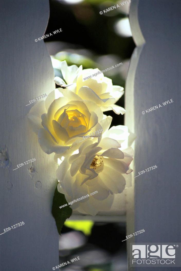 Stock Photo: White roses with sun behind, peeking through white wood fence.