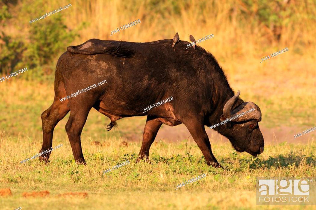 Stock Photo: African Buffalo, animal, Syncerus caffer, Kwando River, Bwabwata, National Park, Susuwe Island, Lodge, Caprivi, Namibia, Africa, Travel, Nature.
