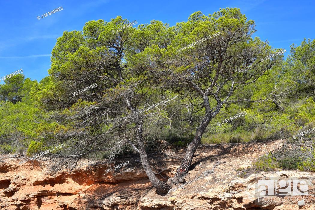 Stock Photo: Aleppo pine (Pinus halepensis) is a conifer tree native to all Mediterranean Basin. This photo was taken in L'Ametlla de Mar, Tarragona province, Catalonia.