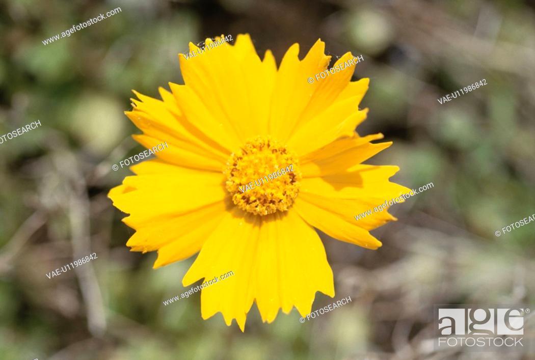 Stock Photo: Yellow Cosmos.