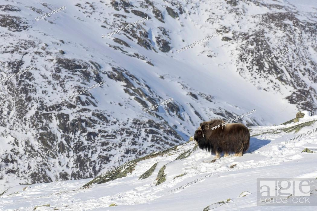 Stock Photo: Muskox (Ovibos moschatus). Asult male standing in snow. Dovrefjell-Sunndalsfjella N.P., Oppdal, Norway.