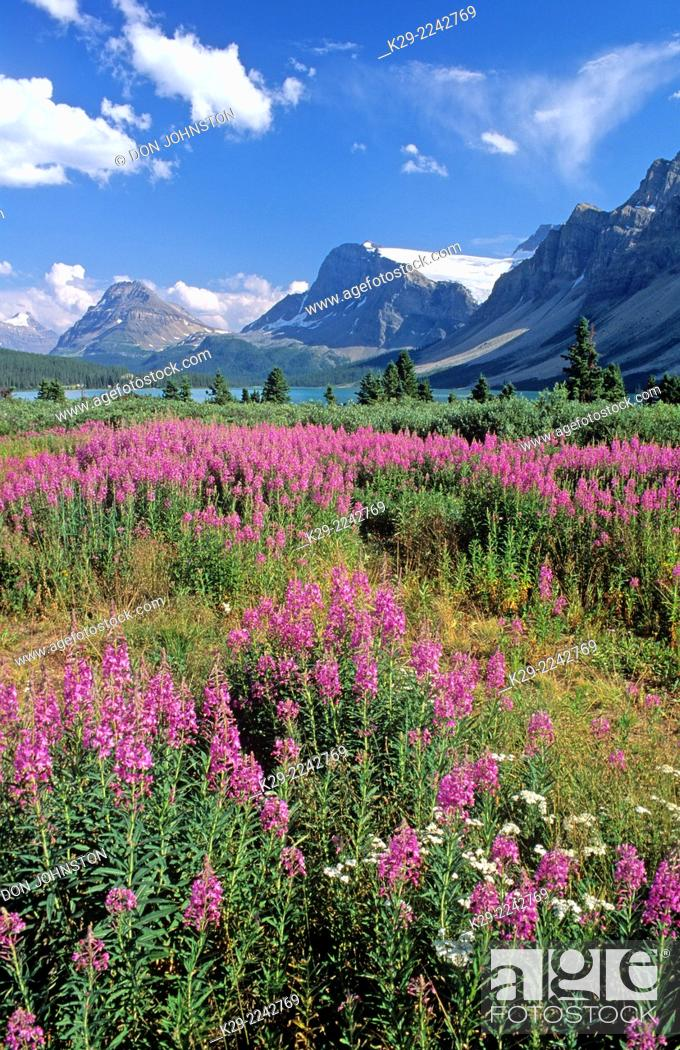 Photo de stock: Fireweed at Bow Summit near Bow Lake, Banff National Park, AB, Canada.