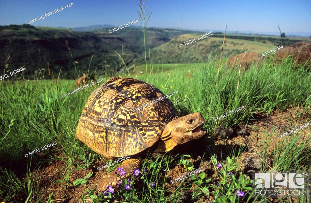 Stock Photo: Leopard tortoise (Geochelone pardalis). Umgeni Valley Reserve, Kwa-ZuluNatal. South Africa.