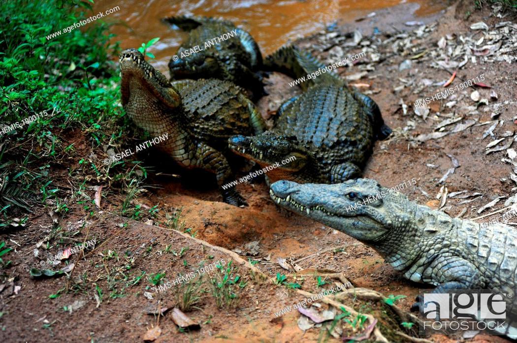 Stock Photo: Madagascar, Andasibe Mantadia National Park, Vakona Forest Lodge, Crocodile Farm, crocodile looking for food.