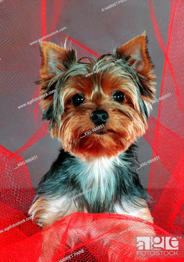 Stock Photo: Yorkshire Terrier.