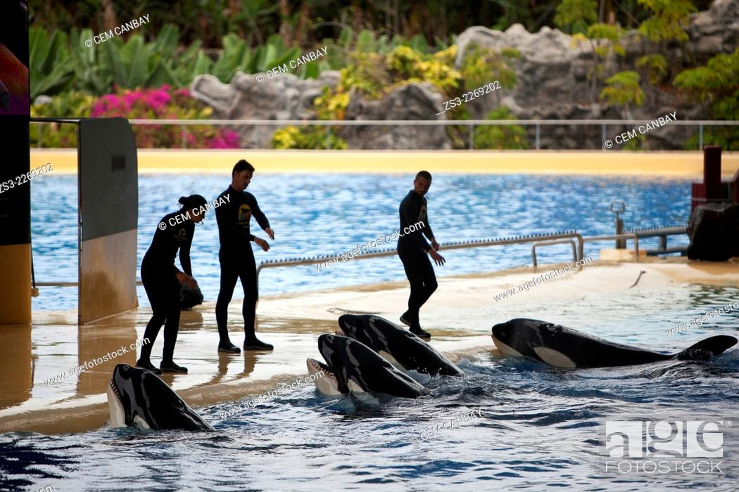 Stock Photo: Trainers and Orcas during the show, Loro Parque, Puerto de la Cruz, Tenerife, Canary Islands, Spain, Europe.