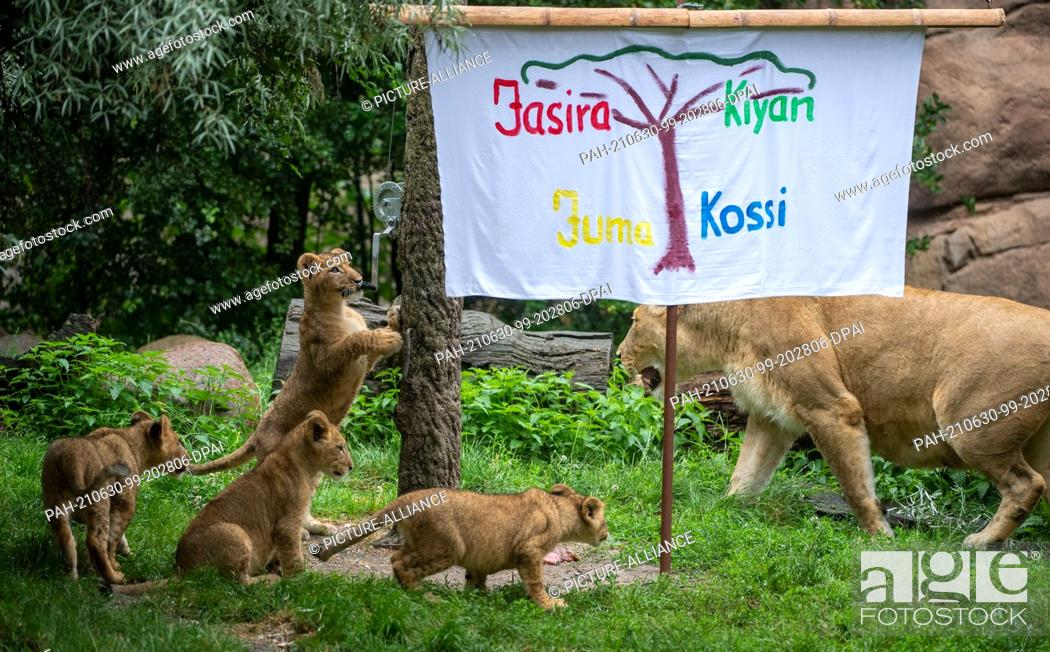 Stock Photo: 30 June 2021, Saxony, Leipzig: The lion cubs at Leipzig Zoo curiously roam their enclosure in the lion savannah with mother lion Kigali around a sheet with.