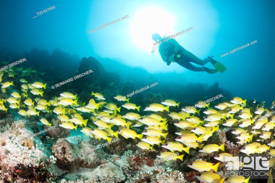 Stock Photo: Shoal of Bluestripe Snapper and Diver, Lutjanus kasmira, Medhu Faru Reef, South Male Atoll, Maldives.
