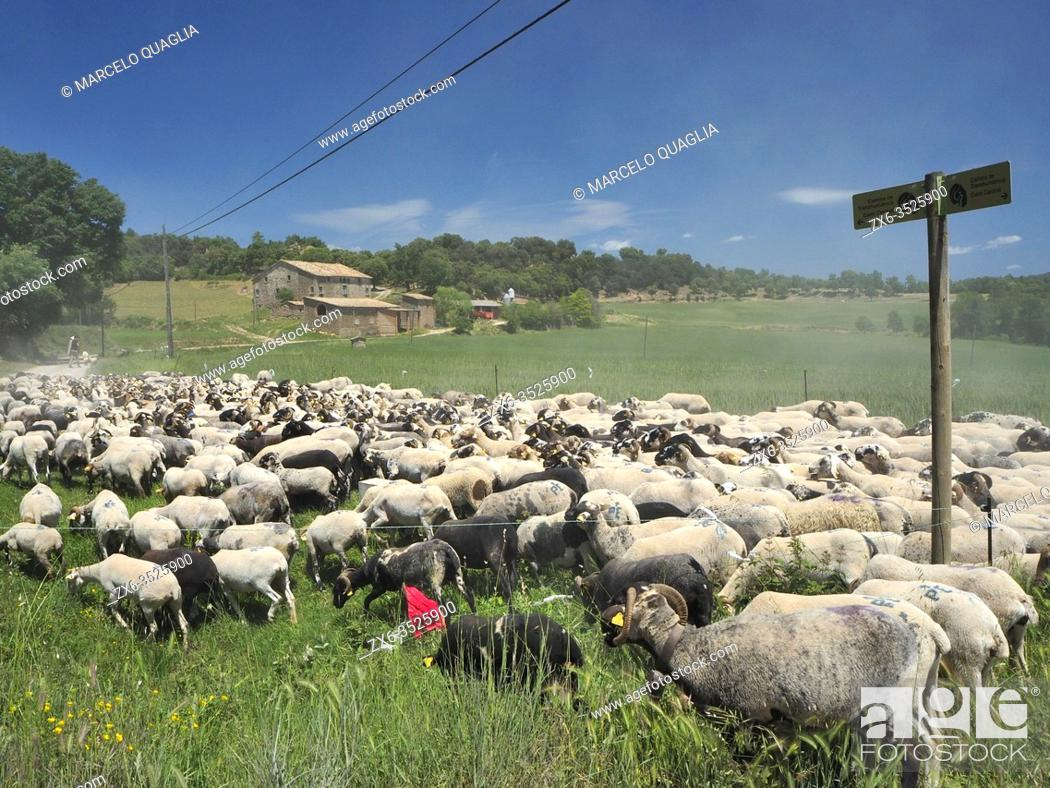 Stock Photo: Transhumance of flock of sheep. Recovered tradition of old days. Sant Martí d 'Albars village countryside. Lluçanès region, Barcelona province, Catalonia, Spain.