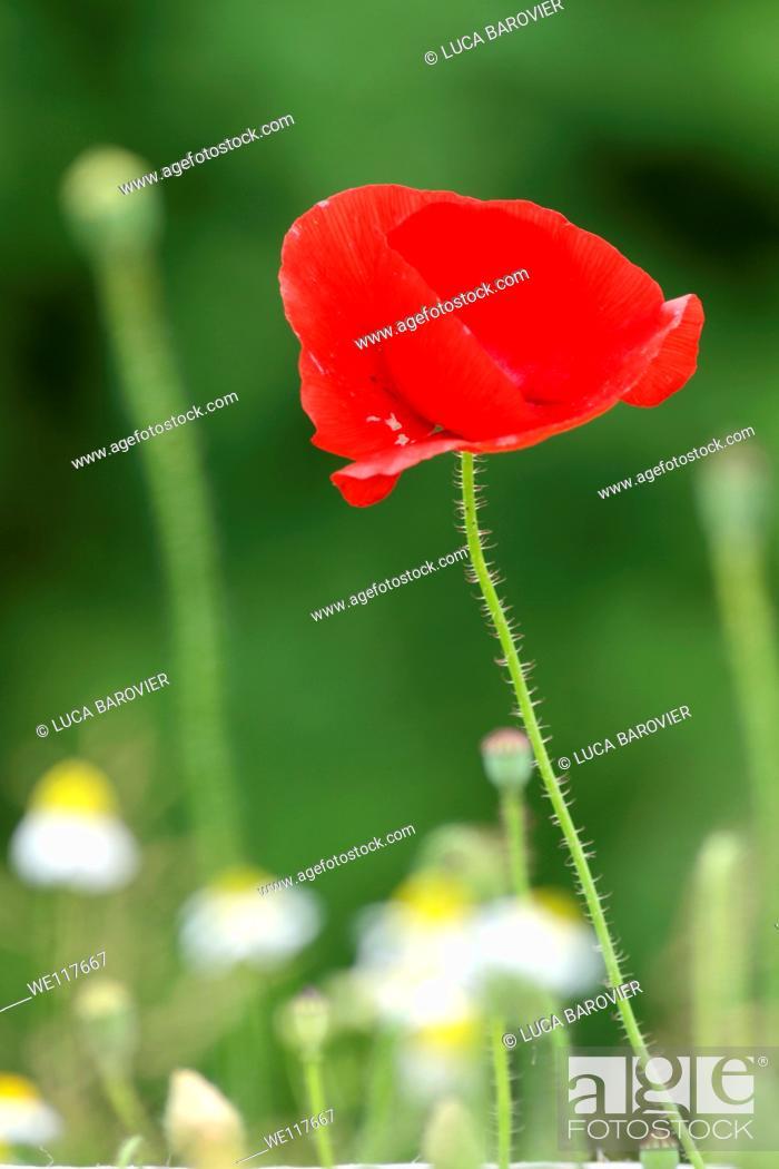 Stock Photo: Poppy and daisies field.