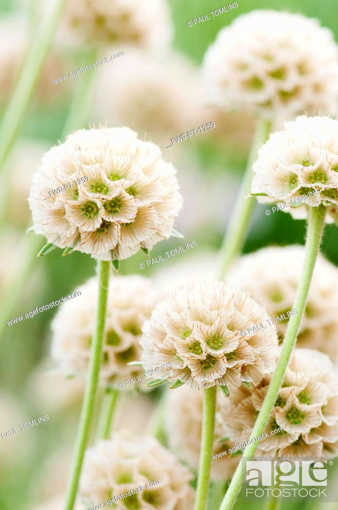 Imagen: Grass Leaved Scabious, Scabiosa graminifolia, Several papery globe shaped seedheads.