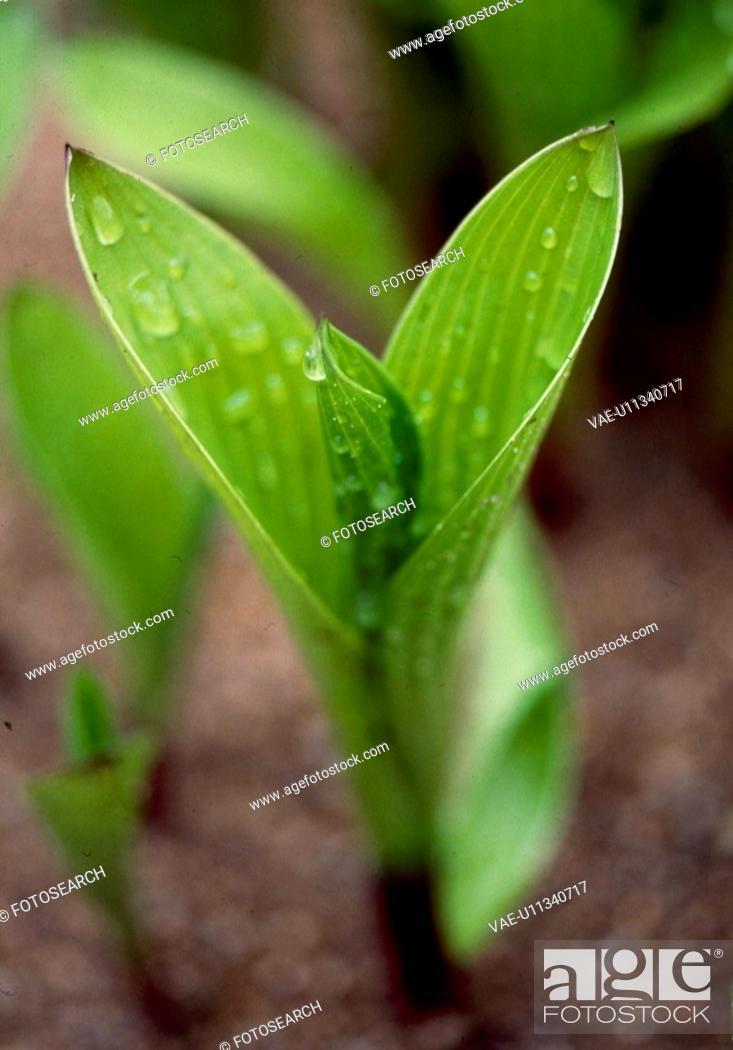 Stock Photo: dewdrop, nature, waterdrop, green, fresh, plant, landscape.