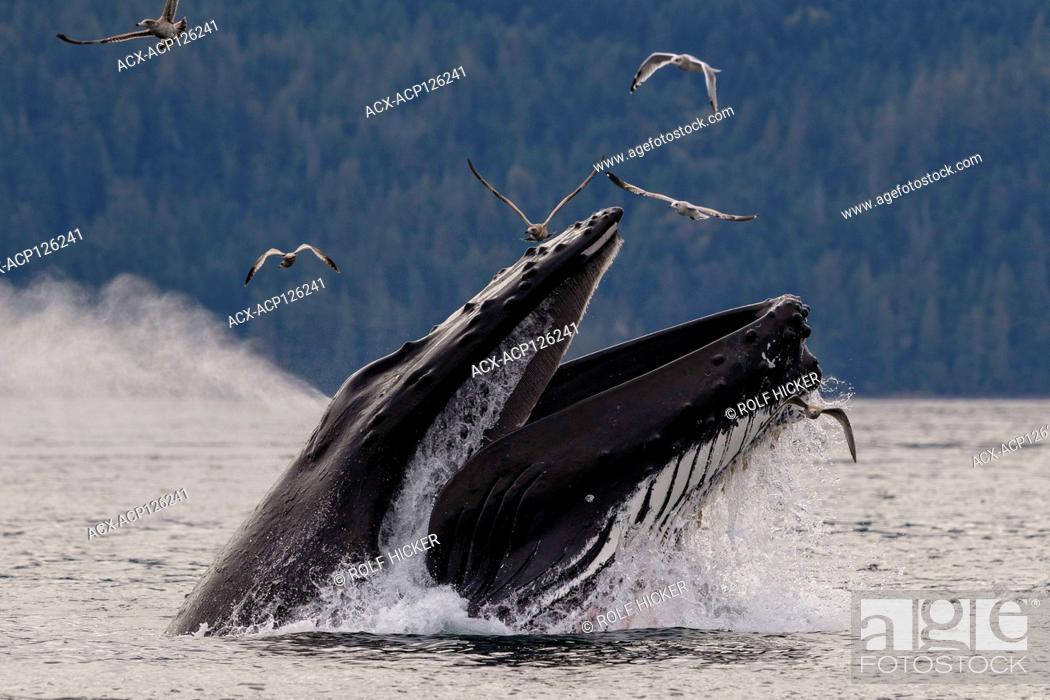 Stock Photo: Humpback whale (Megaptera novaeangliae) lunge feeding in Blackfish Sound of Hanson Island near the Broughton Archipelago, First Nations Territory.