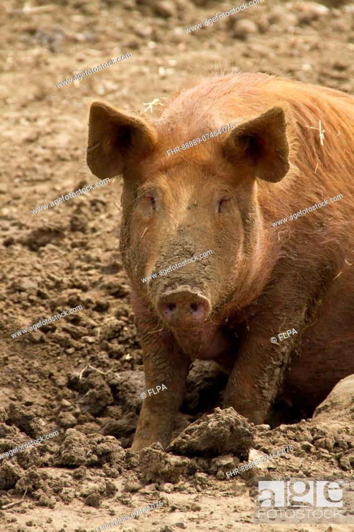 Tamworth Pig In Mud Stock Photo Picture And Rights Managed
