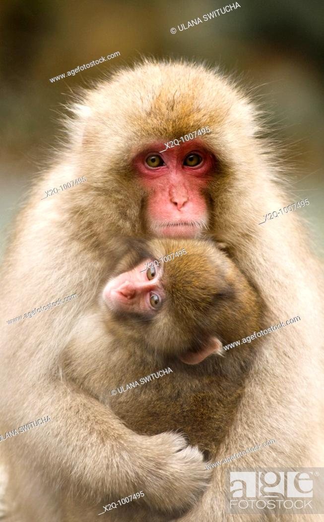 Stock Photo: Japanese Macaque Macaca fuscata snow monkey Nagano Japan.