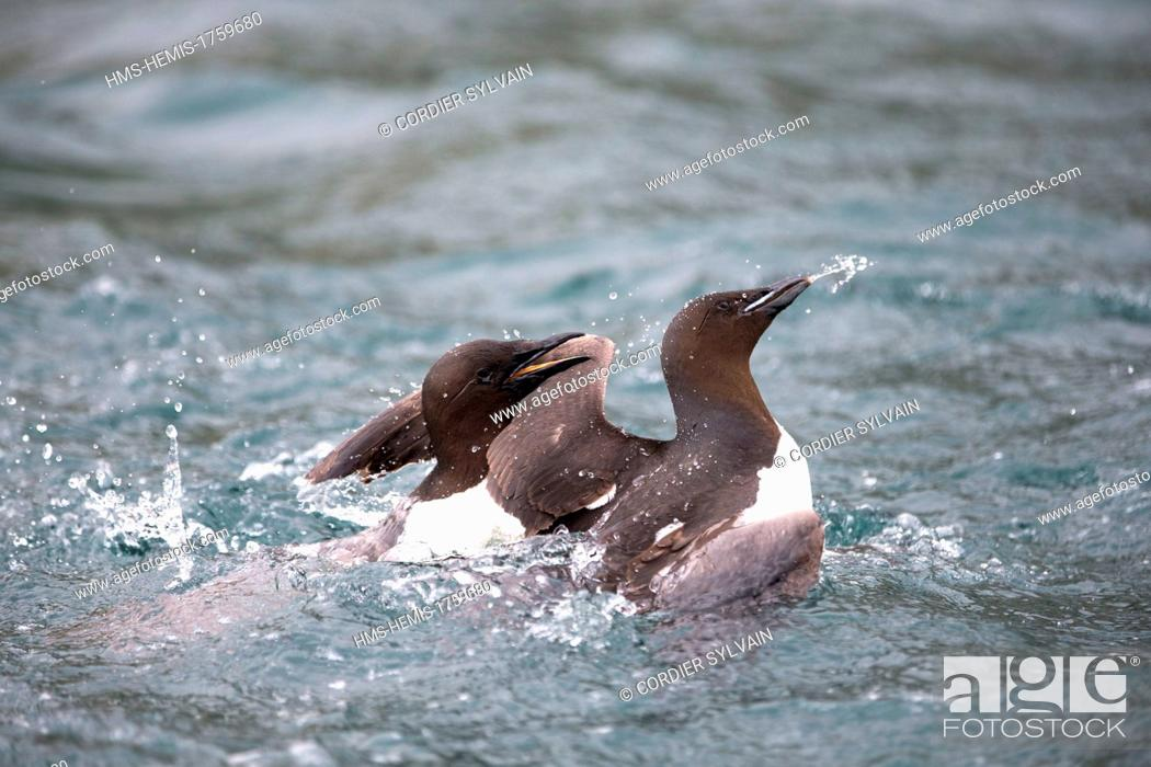 Stock Photo: Russia, Chukotka autonomous district, Herald Island, Thick Billed Murre (Uria lomvia), fighting in the water.