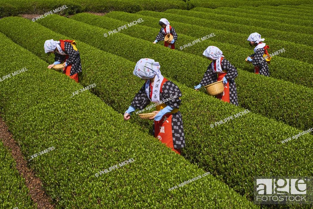 Stock Photo: Japan, Honshu, Shizuoka, tea harvest at the feet of Mount Fuji.