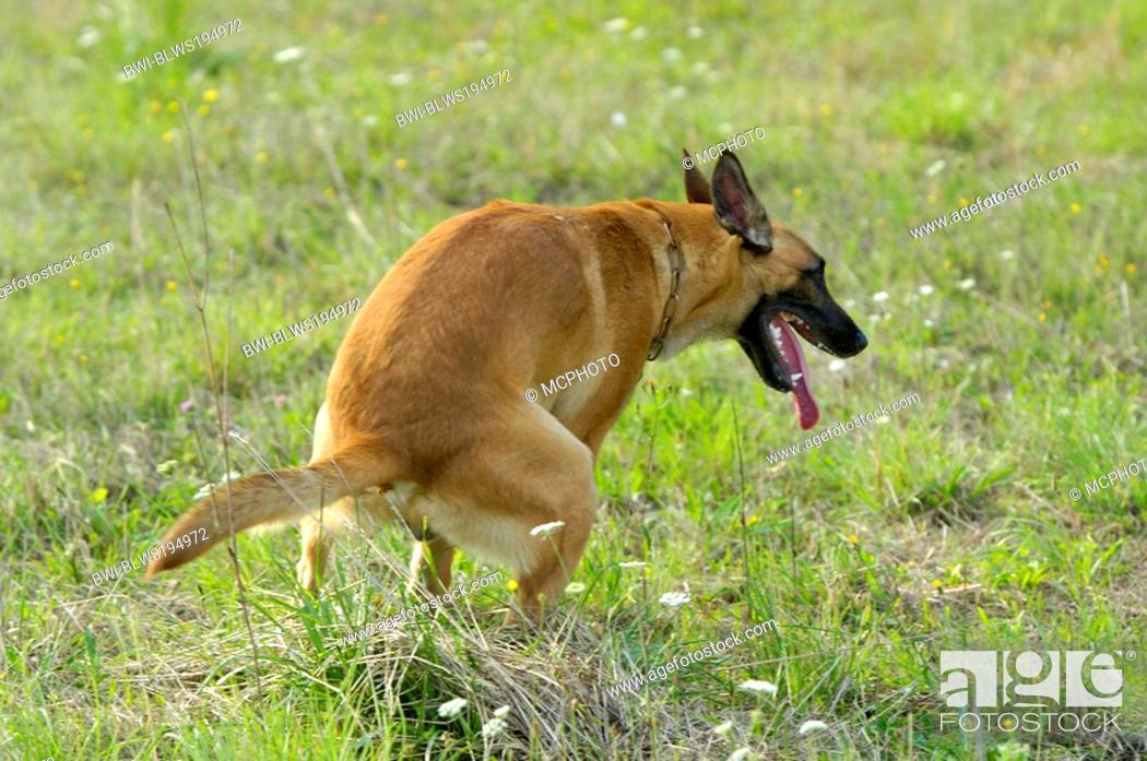 Stock Photo: Malinois Canis lupus f. familiaris, defecates.
